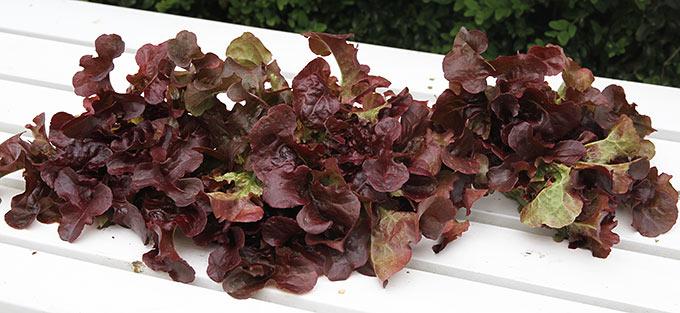 Rød egebladet salat.