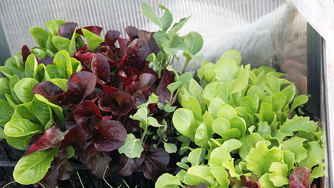 De store salatplanter skal plantes ud i morgen.