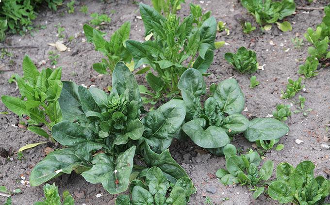 Spinatplanter