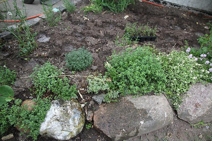 Timianbed med citrontimian forrest og de nyplantede timian bagerst.