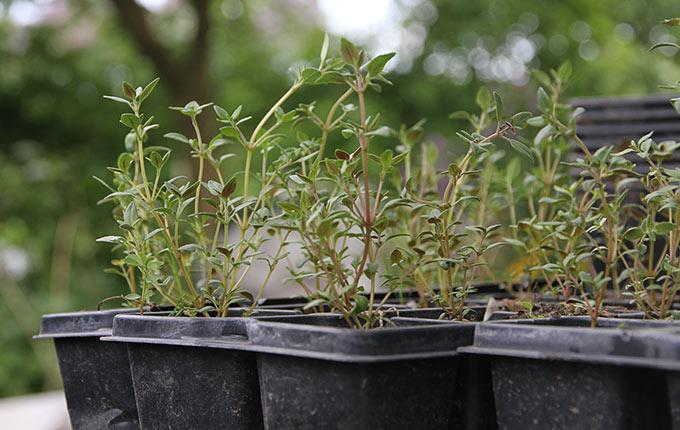 Timianplanter sået sidst i marts