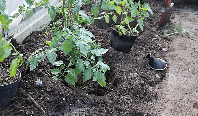 Dyb plantning af tomat