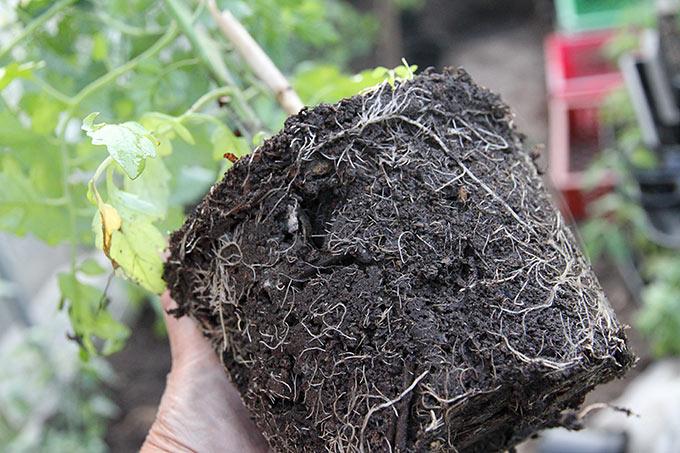 Plantens rødder har udvokset potten.