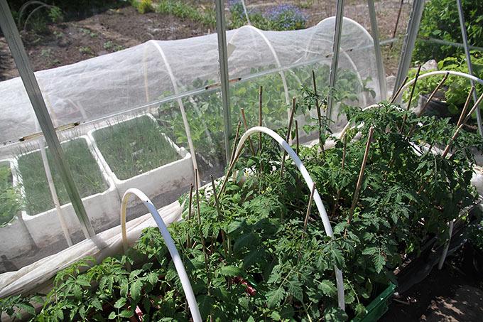 Tomater i drivhuset, kål og porrer udenfor under bionet.
