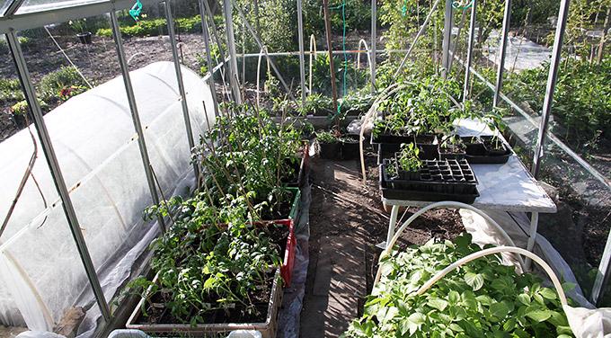 Så er der fundet plads til alle tomatplanterne.