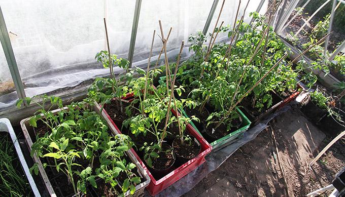 Tomatplanterne fylder godt, når de får større potter.
