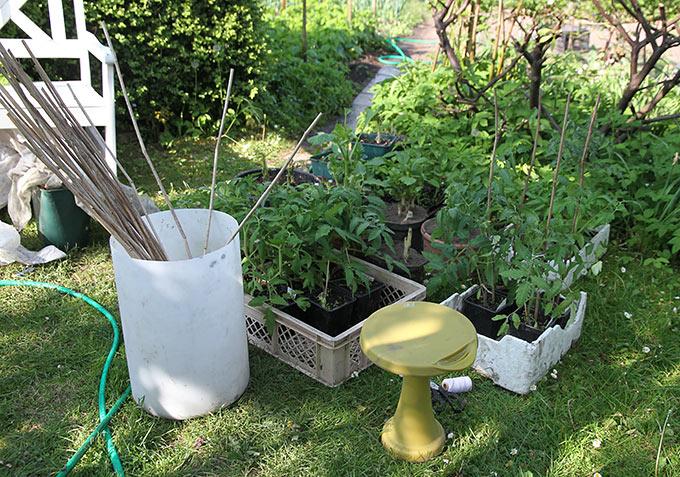 dyrking av tomater inne