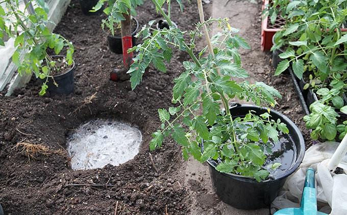 Hullerne vandes og planten mættes med vand.
