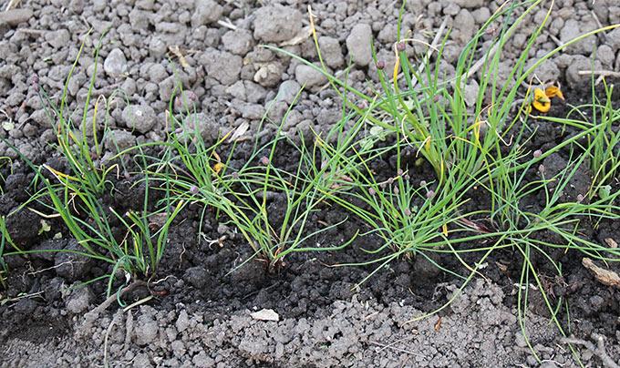 Den nyplantede purløgsrække skal vandes med få dages mellemrum.