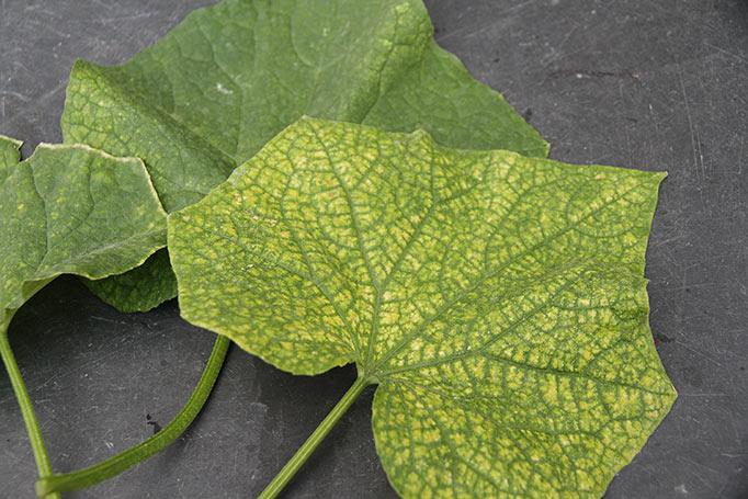 Agurkblade angrebet af spindemide