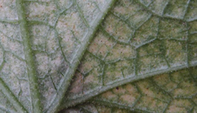 bagsiden af bladedene og suger plantesaft.