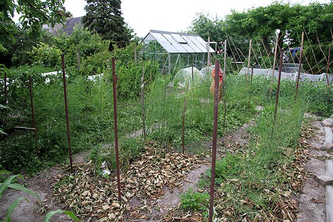 Hækklip på aspargesbede.