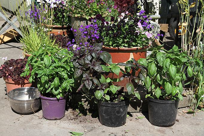 De tre potter med basilikum blev flyttet ud i gården.