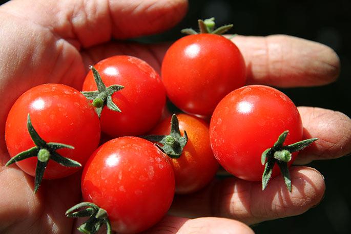 Cherrytomater - en sund formiddagssnack.