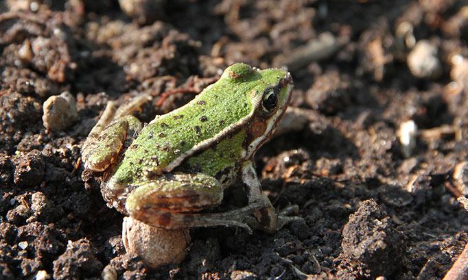 En lille grøn frø - hvor kom den mon fra?