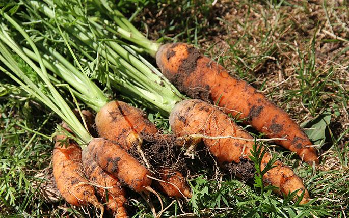 Der er både store og små gulerødder, men de mangler vand for at smage rigtig godt.