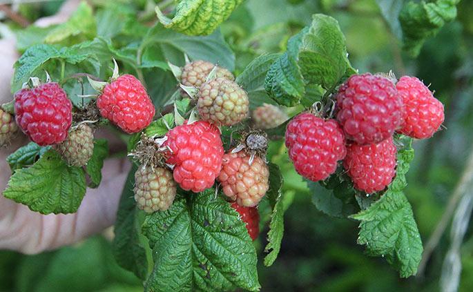 Og lige en nærbillede af mine hindbær.