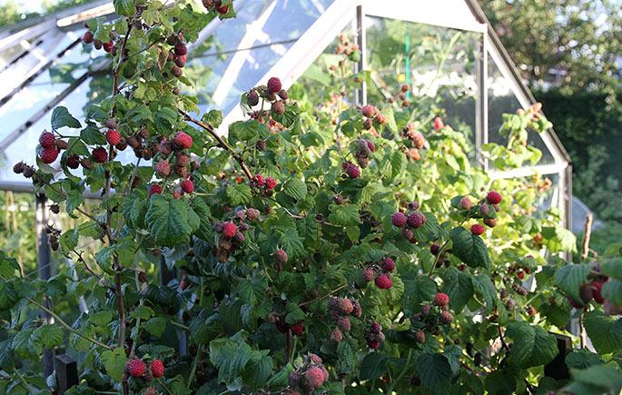 Modne hindbær