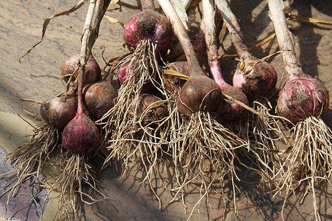 Purple Chinese er en meget tidlig hvidløgssort.