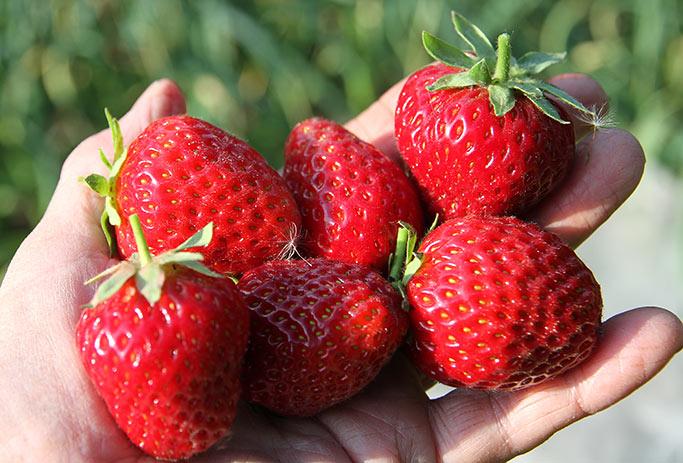 Store og meget velsmagende jordbær.