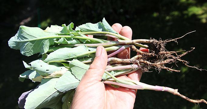 Kålplanterne kunne lige hives op - stort set ingen rødder tilbage.
