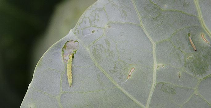 Kålmøllet lægger æggene på bagsiden af bladene.