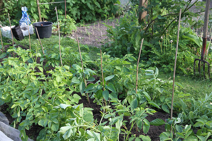 Planterne plantes ud mellem to kartoffelrækker, så har de lidt læ.