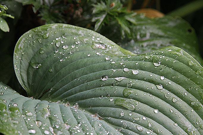 Regndråber på hosta-