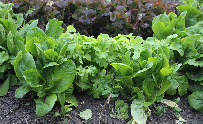 forrest nyvækst fra høstede salatplanter, bagved yngre salat, som er sået.