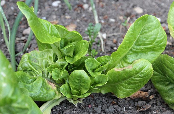 Nyvækst i salat
