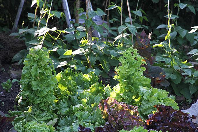 Salat går i stok.