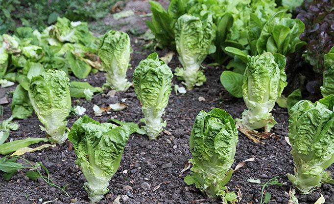 Salathoveder uden dækblade.