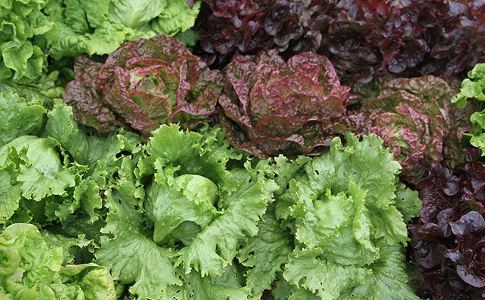 Salatbed med mange sorter