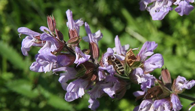 insekter i salvieblomster.