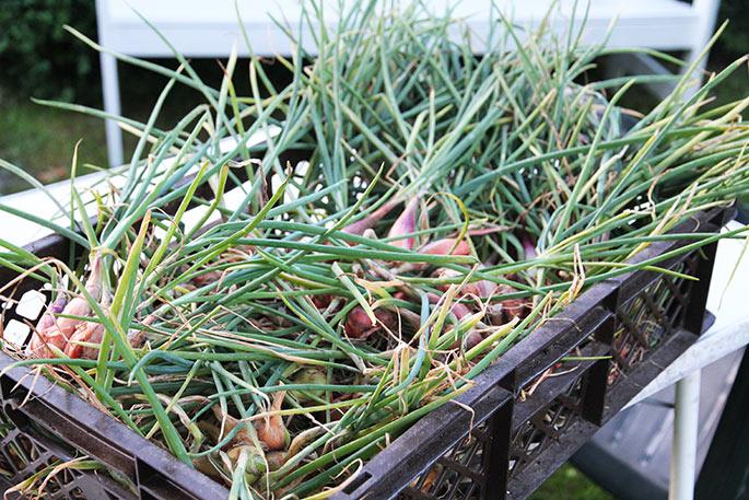 En kasse med årets høst af mange små skalotteløg.