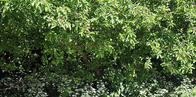 Skvalderkål i blomst under æbletræerne.