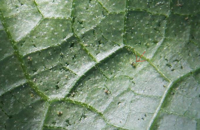 Spindemider på agurkblad