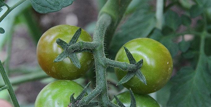 Tomater er ved at blive røde