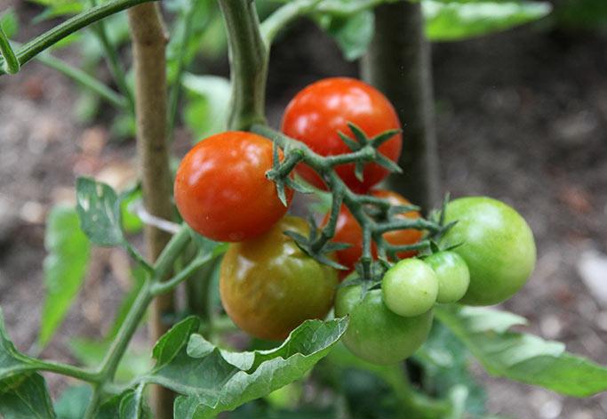 Tomater på friland af sorten Favorita.