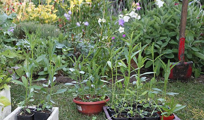Planter sf Verbena bonriensis klar til at plante ud.