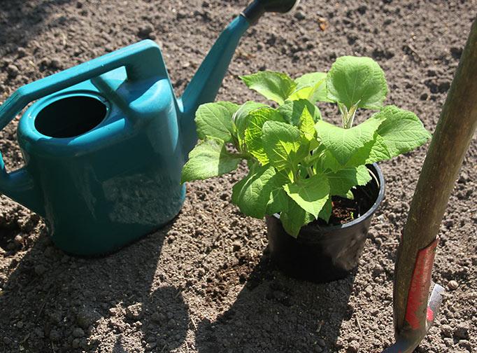 Yacon plantes ud.