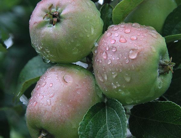 Haglskade på æbler