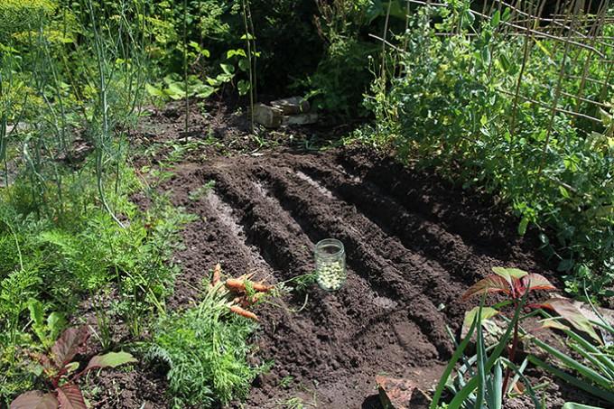 Der sås sukkerærter på det stykke, hvor vi har høstet de første gulerødder.