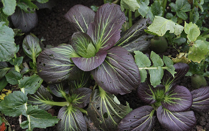 En smuk pak choy med purpur blade.