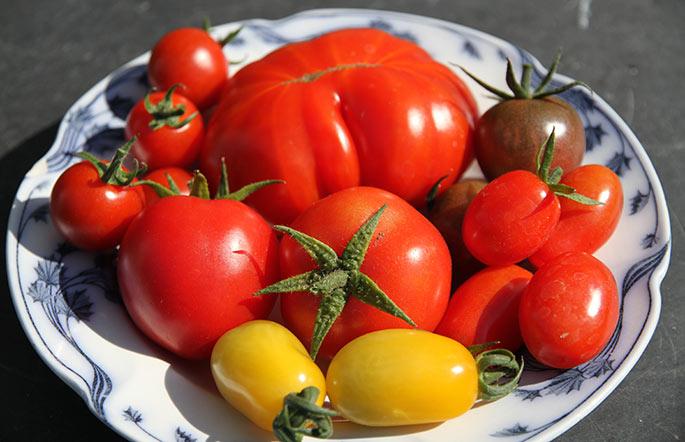 De seks tomatsorter, som jeg dyrker i år.