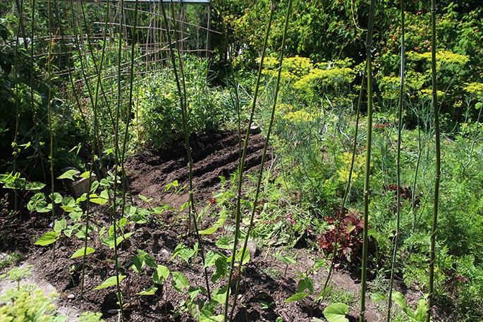Der er plantet bønner ud på det tidligere kartoffelbed.