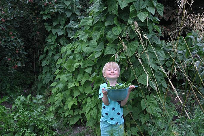 Så har vi plukket årets første portion stangbønner.