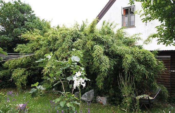 Bambus hæk plantet på nordsiden af huset.