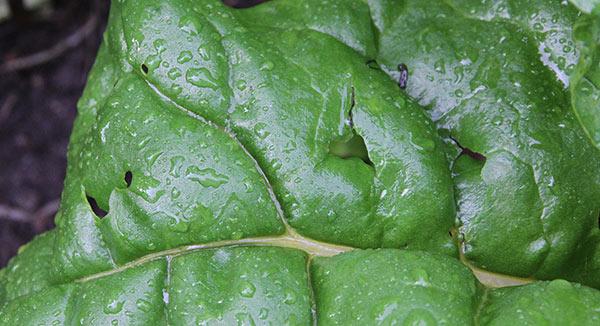 Haglskade på bladbedens saftige blade.
