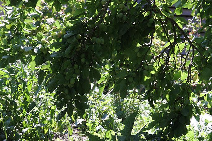 Blommetræets grene når næsten ned til jorden.